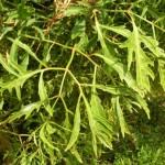 Kỹ thuật trồng cây đinh lăng chuẩn ít người biết đến